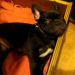 Adorable French Bulldog Puppy Argues Bedtime!