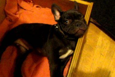Adorable French Bulldog Puppy Argues Bedtime!