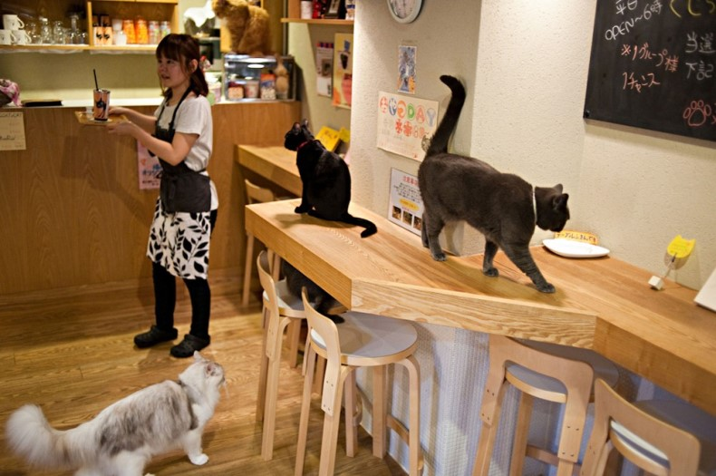 'Cat Time' (Neko No Jikan) cat cafe opened in 2004 as Osaka's first cat cafe where customers pay by the hour to enjoy the company of cats, Osaka, Kansai region, Japan, Sunday, Jul 3, 2011.  Osaka has ten cat cafes.///Osaka Cat Cafe