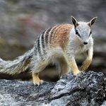 Animal Jigsaw Puzzles: Numbat