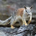 Animal Jigsaw Puzzles: Numbat