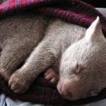 Animal Jigsaw Puzzles: Sleeping Baby Wombat