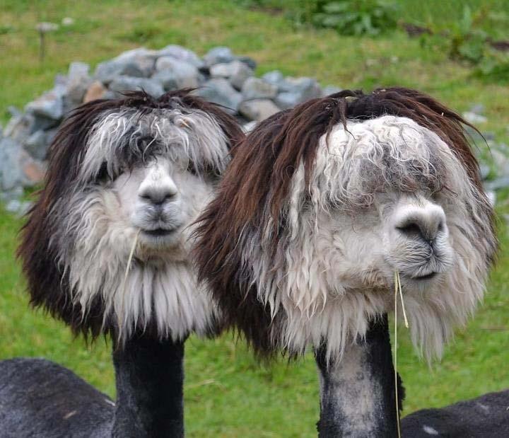 Fabulous Alpaca Haircut