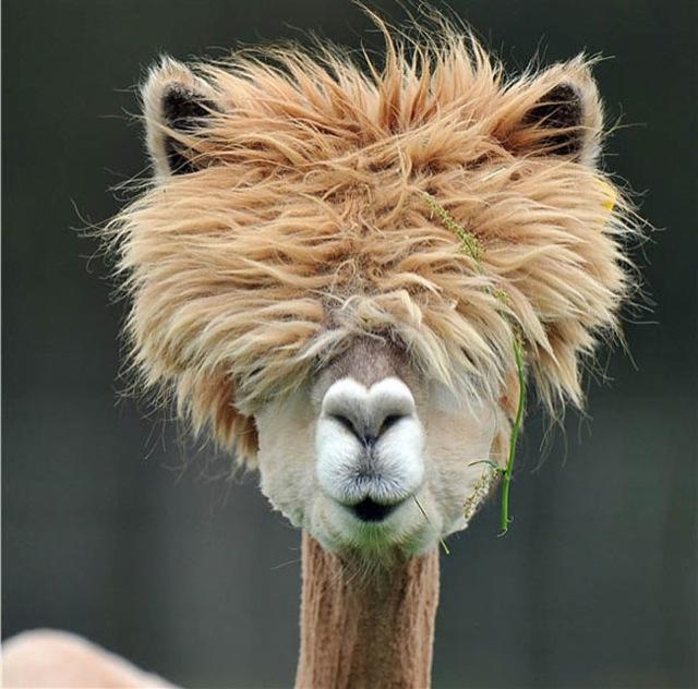 Fabulous Alpaca Haircut10