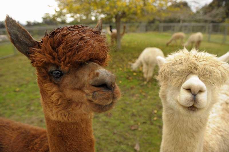 Fabulous Alpaca Haircut11