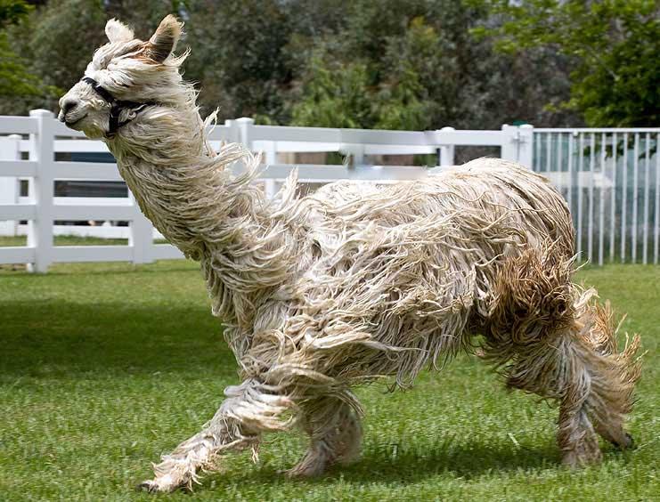 Fabulous Alpaca Haircut12