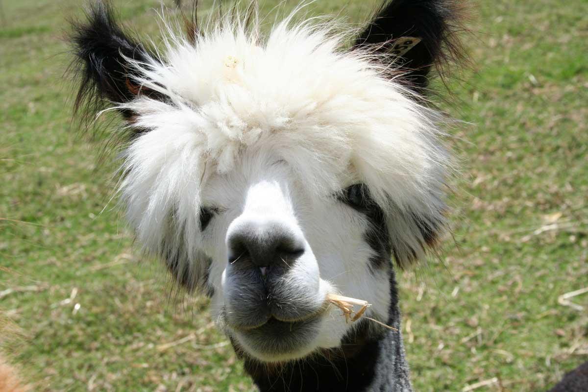 Fabulous Alpaca Haircut13