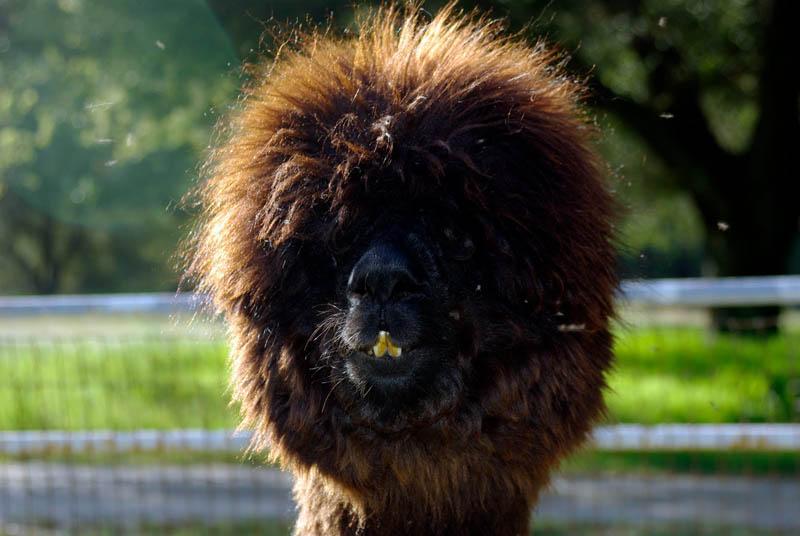 Fabulous Alpaca Haircut14
