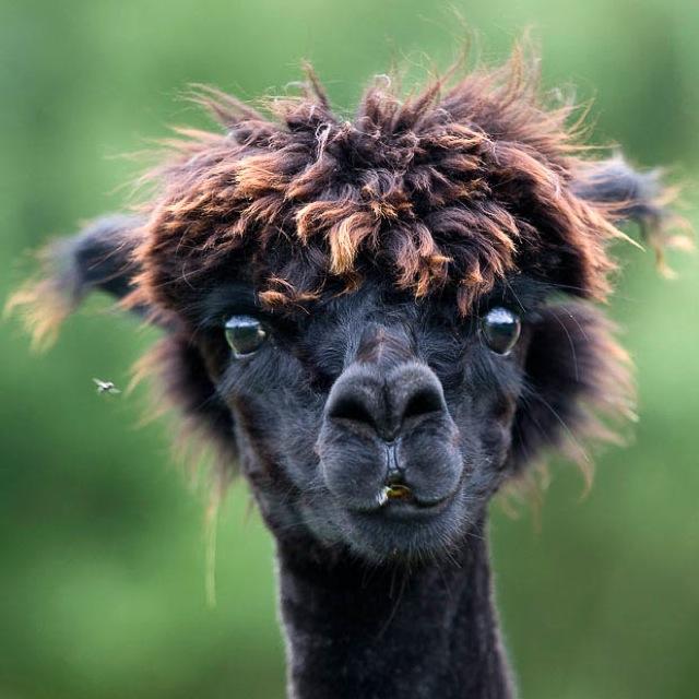 Fabulous Alpaca Haircut15
