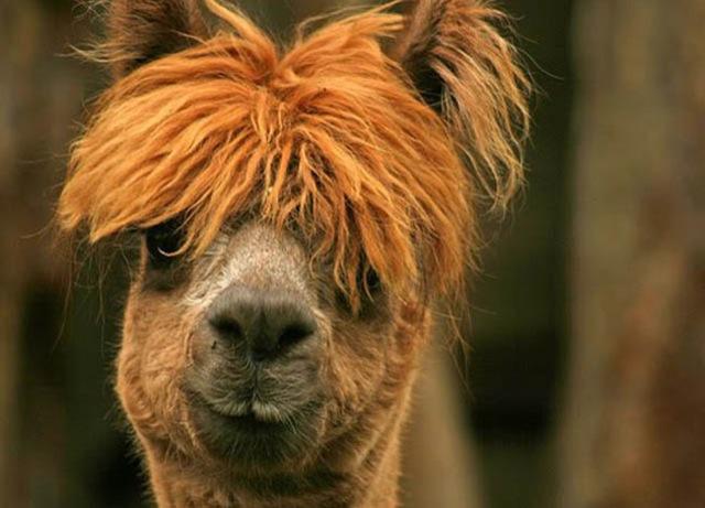 Fabulous Alpaca Haircut16