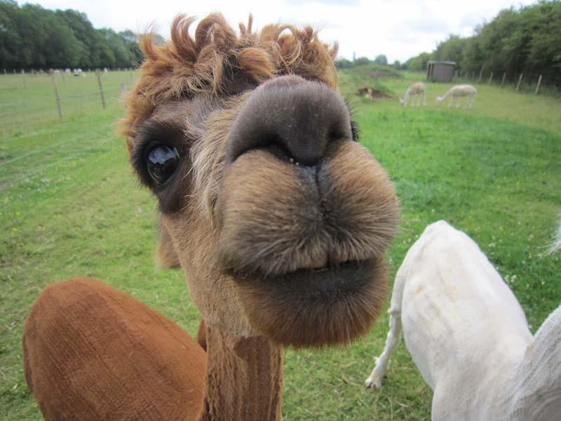 Fabulous Alpaca Haircut17