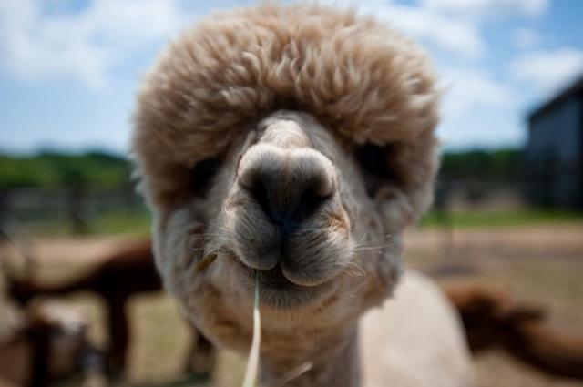 Fabulous Alpaca Haircut18