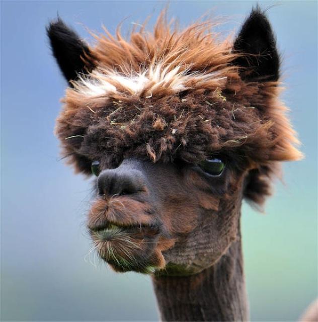 Fabulous Alpaca Haircut19