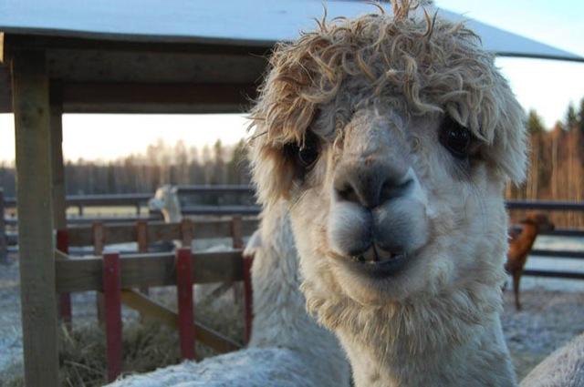 Fabulous Alpaca Haircut20