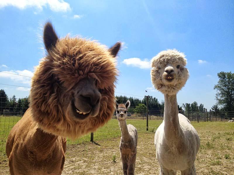 Fabulous Alpaca Haircut3