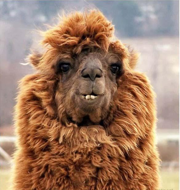Fabulous Alpaca Haircut4