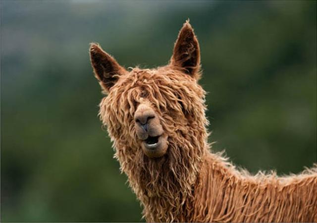 Fabulous Alpaca Haircut6