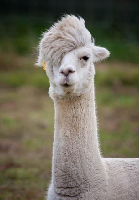 Fabulous Alpaca Haircut7
