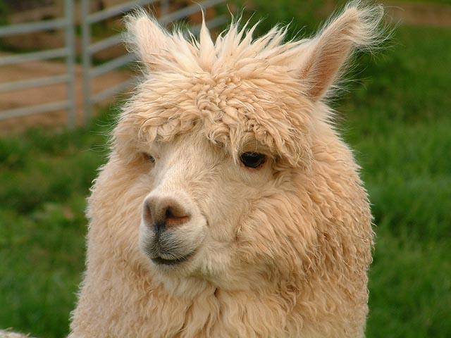 Fabulous Alpaca Haircut8
