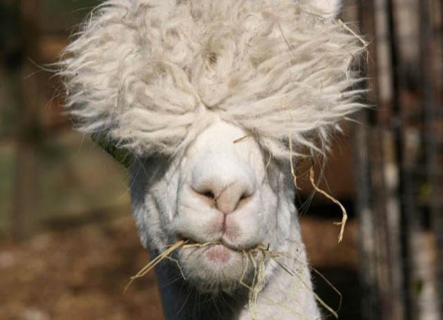 Fabulous Alpaca Haircut9