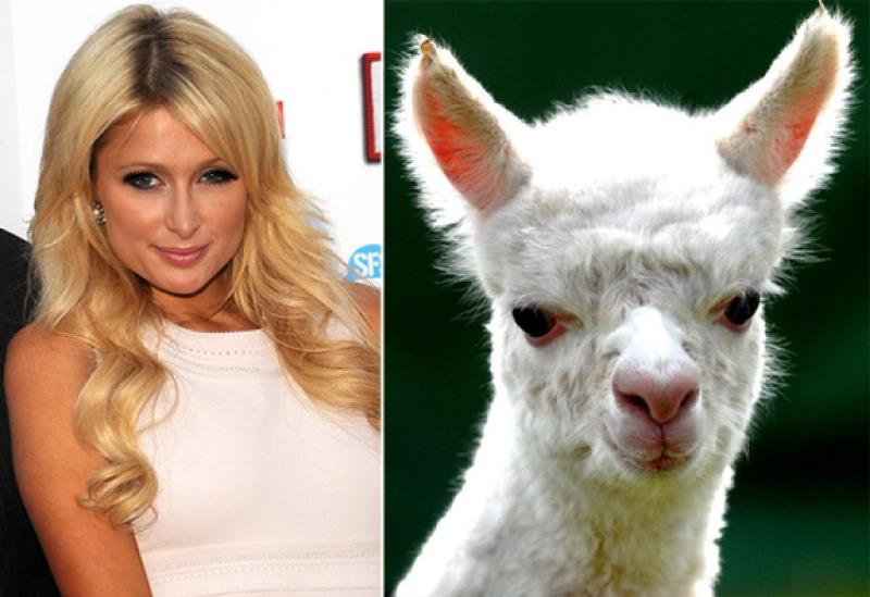 celebrities that look like animals Paris-hilton