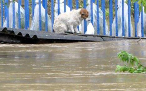 serbia-flood-dog