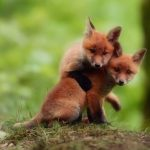 Animal Jigsaw Puzzles: Adorable Foxes