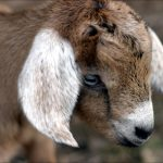 Animal Jigsaw Puzzles: Baby Goat