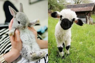 Animal Cuteness Battle – Bunny vs Lamb