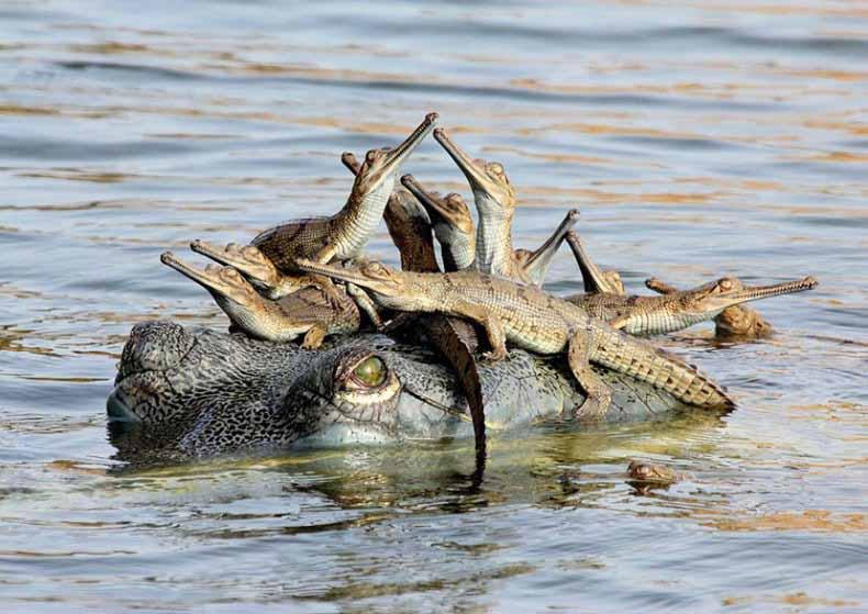 crocodile with baby