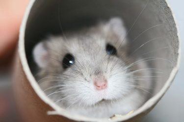 Animal Jigsaw Puzzles: Hamster Playing Hide & Seek
