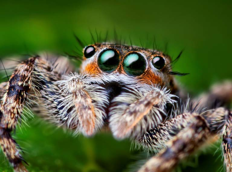 jumping spider macro photography