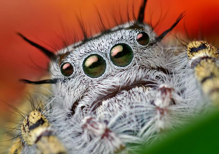 jumping spider macro photography10
