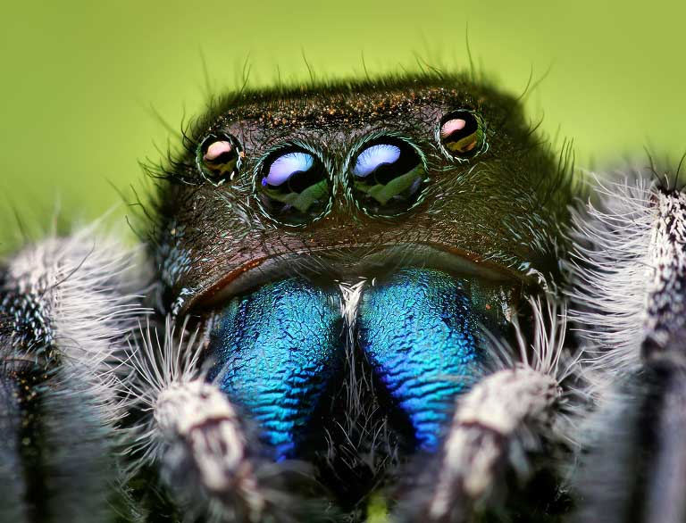 jumping spider macro photography11