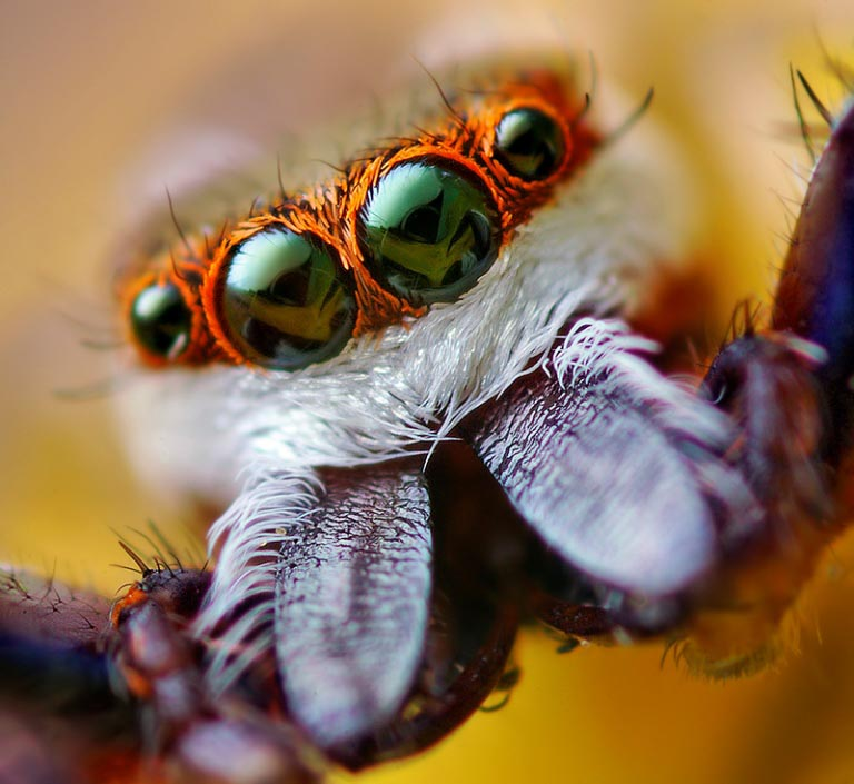jumping spider macro photography12