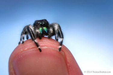 Beautiful Macro Photography Of Jumping Spiders