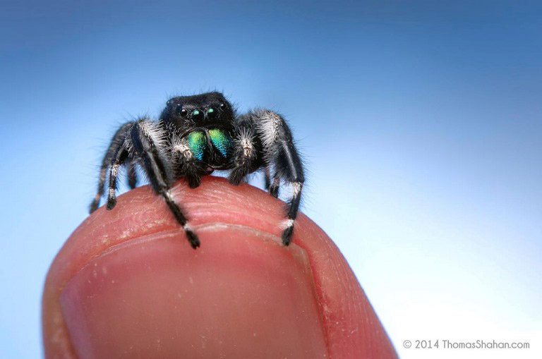jumping spider macro photography13