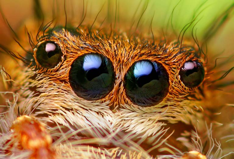 jumping spider macro photography15