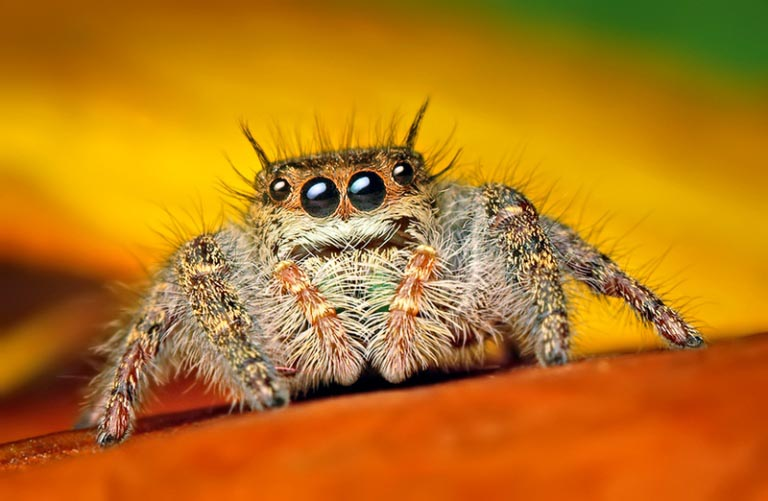 jumping spider macro photography16