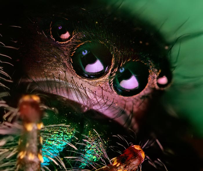 jumping spider macro photography18