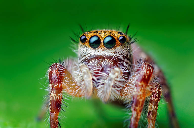 jumping spider macro photography2