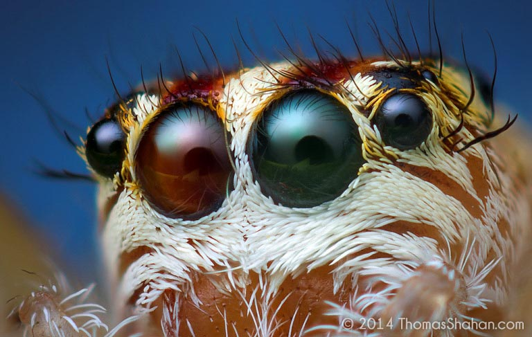 jumping spider macro photography20
