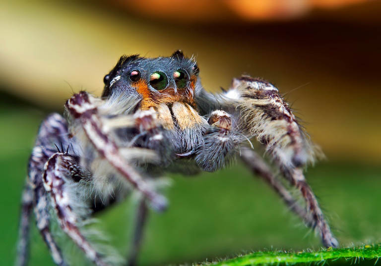 jumping spider macro photography3