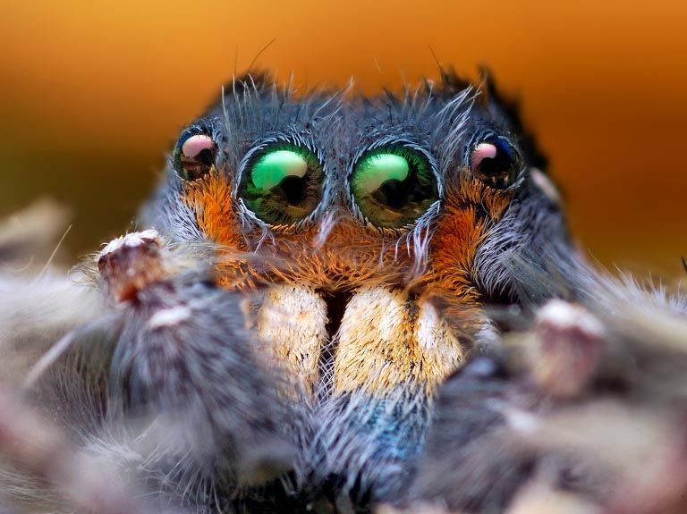 jumping spider macro photography4