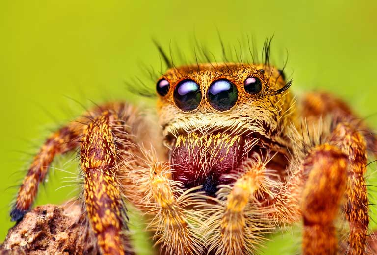 jumping spider macro photography5