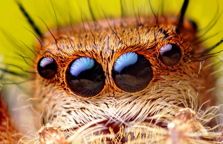 jumping spider macro photography6