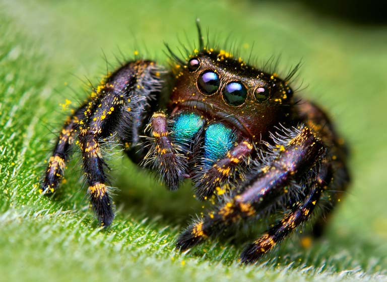 jumping spider macro photography7