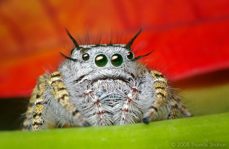 jumping spider macro photography9