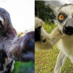 Animal Cuteness Battle – Sloth vs Lemur
