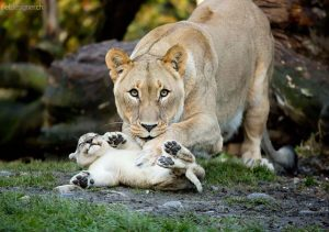 lion with baby2